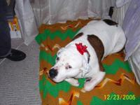 Description Candy is a 7 year old American Bull dog