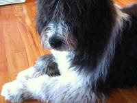 We have a Newfoundland/Komondor cross that is free to a