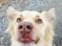 4 year old spayed golden/collie female mix, UTD on