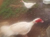 FREE TO CARING HOME! PAIR OF WHITE MUSCOVY DUCKS with