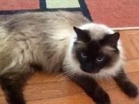 I found this beautiful Long hair Siamese mix with