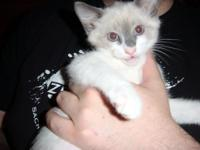 Half Manx and half Himalayan kittens to good home.