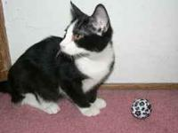Female black and white kitten, Litter Box trained,