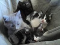 Born August 4, 2012 8 week old kittens. 3 females and