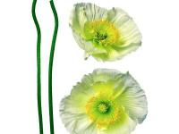 Fantastic wall Appliques of two white poppy flowers to