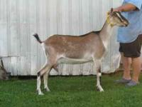 We have an excellent milking yearling and her doe kid