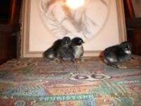 We have some 3-4 day old pure blooded french black