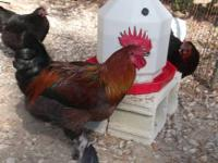 I have 6 French Black Copper Marans Chickens for sale.