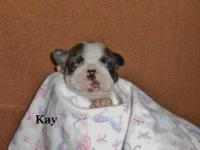 French Bo-Chi puppies are a wonderful designer breed,