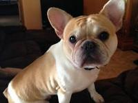 1 Honey/Cream Pied female french bulldog for sale. She