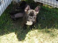 French Bull dog Puppies! Playful, loving and very