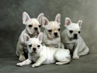 precios male and female french bull dog puppies for