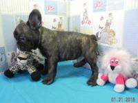 akc French bulldog young puppy, 9 weeks old. I have 1