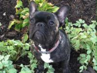 Little Gracie, brindle Frenchie female. Gracie was born