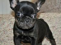 I have a handsome little black/brindle boy available!