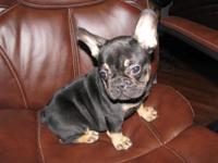 "AKC FRENCH BULLDOG RARE BLACK AND TAN GIRL""COOKIE"" BLUE"