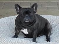 2 yr old AKC brindle female French bulldog.Looking to
