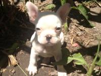 FRENCH BULLDOG YOUNG PUPPY. Just 7 weeks aged and this
