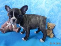 akc French bulldog young puppies, 9 weeks old. I have 1