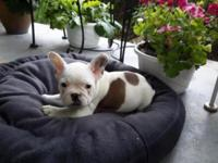 I have one outstanding French Bulldog puppy for sale.