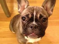 Darling Frenchie available Good with children and other