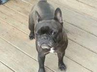 Brindle female French Bulldog.. She is spayed and