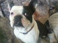 Beautiful French Bulldog for sale she is 3 years old.