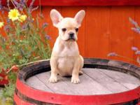 Very gorgeous and cute french bulldog dogs from elite