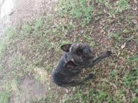 Brindle neutered male, 4 years old ..good with kids,