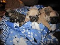 AKC French Bulldogs for sale. I got 3 males and 2