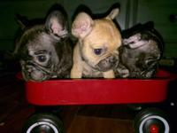 French bulldog Ready to go home Shots and deworming Vet