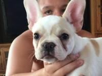 13 week old AKC Female French Bulldog. Limited