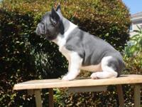 I have 3 amazing male AKC solid blue French puppies