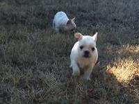 1 AKC registered female Honey/Cream pied french bulldog