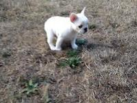 1 AKC registered Female French Bulldog for sale. She