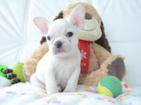 8 weeks old French Bulldogs update on shots they are