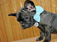Handsome brindle male puppy available. 8 weeks old.