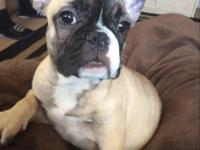 Beautiful fawn female Frenchie 12 weeks shots complete