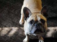 French Bulldog - Banaby - Large - Adult - Male - Dog