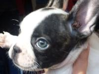 I have three gorgeous French Bulldog young puppies that