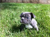 Blue Female French Bulldog, AKC registered and Up to
