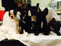 Sweet and loving female Frenchie/ Boston mix pups for