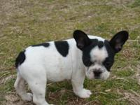 I have 2 male frenchies left-they r ACA reg-shots & &
