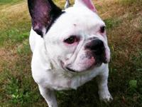 French Bulldog - Burly - Extra Large - Young - Male -