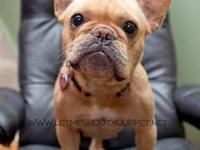 French Bulldog - Camille - Medium - Adult - Female -