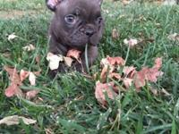 Chocolate French Bulldog Pup AVAILABLE. MALE - This ad
