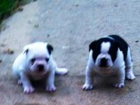 Born 10/17/14 we own lovely AKC registered parents dad