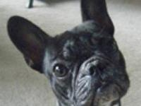 French Bulldog - Danseur - Small - Young - Female -