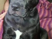 French Bulldog - Dolly - Medium - Young - Female - Dog