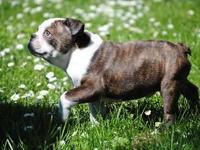 3/4 French Bulldog/1/4 English Bulldog, Tiger Brindle--